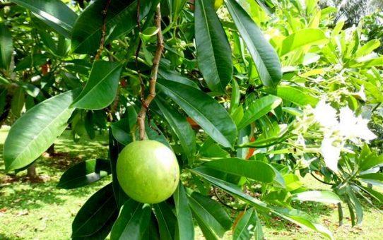 Mengetahui Manfaat Pohon Bintaro Yang Besar Bagi Kehidupan