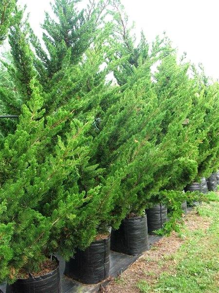 jual pohon cemara