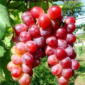 bibit-anggur