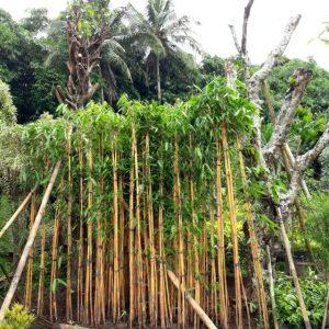 jual-pohon-bambu