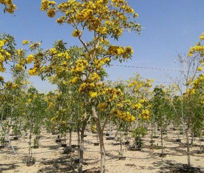 Jual Pohon Tabebuya di Banyuasin