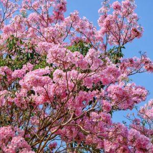 jual-pohon-tabebuya