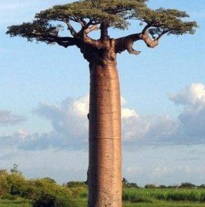 jual-pohon-baobab