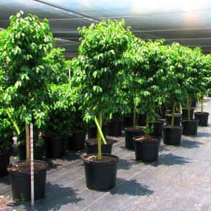 jual-pohon-beringin