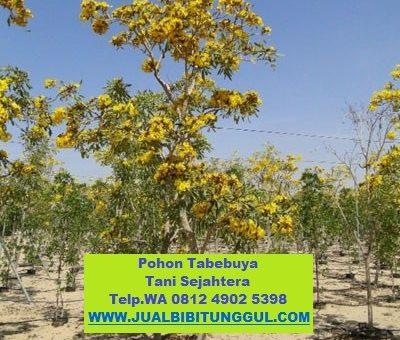 Jual Pohon Tabebuya di Labuhanbatu Selatan